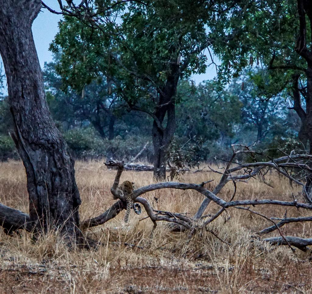 leopard resting on branch