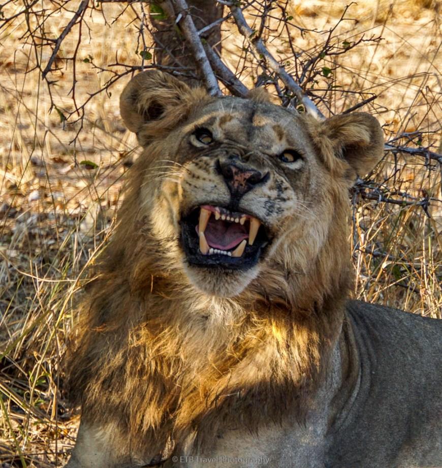 male lion mid-yawn