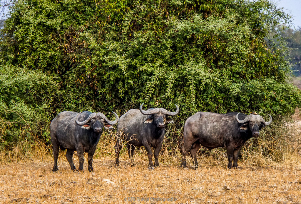 buffalo in south luangwa national park