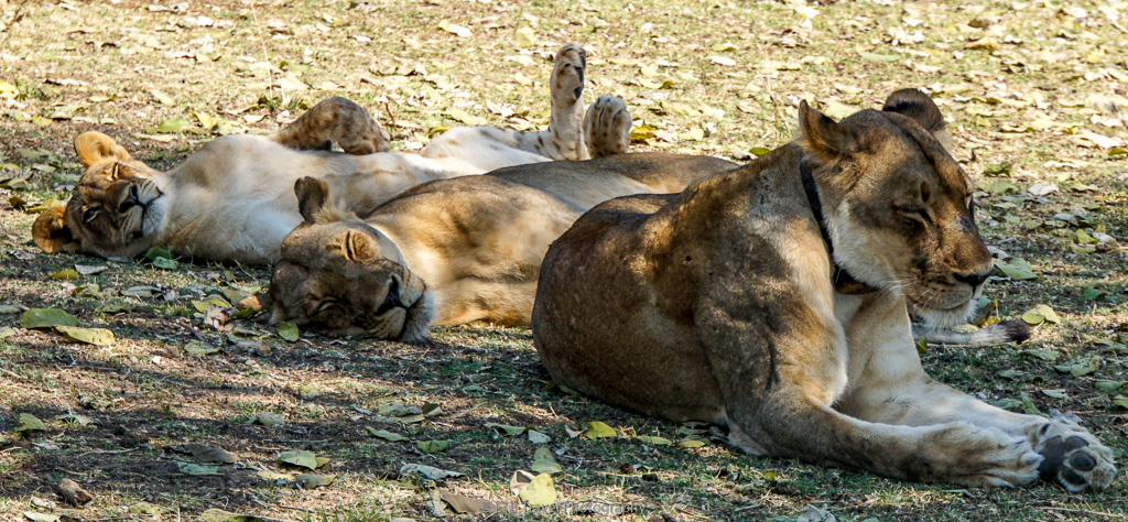 three of eight lions in pride