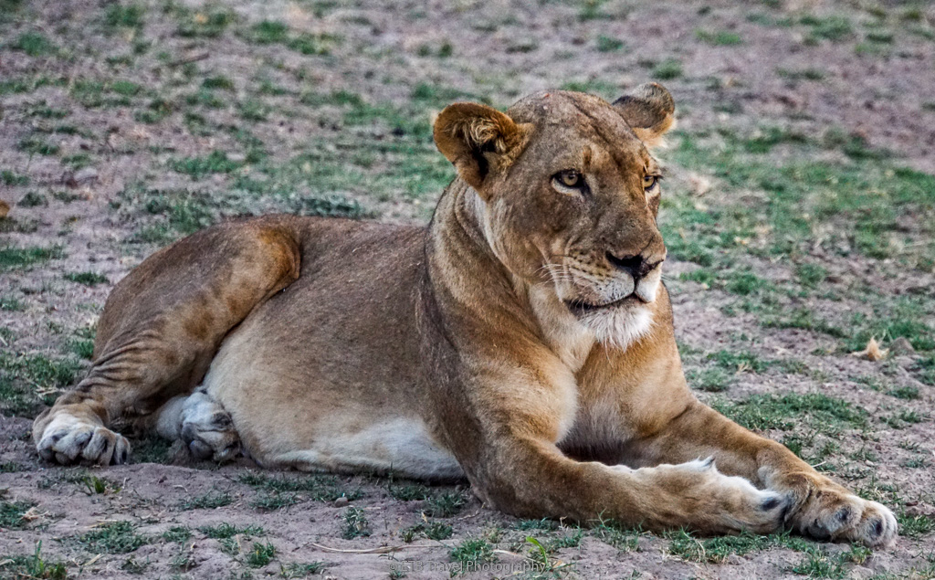female lion in south luangwa national park