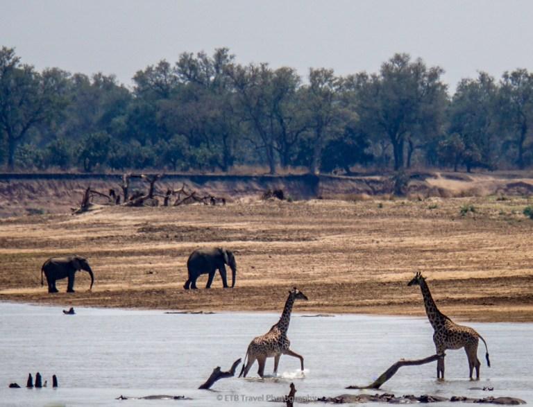 giraffes in zambia