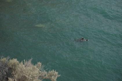 Des otaries nageant gaiement dans la mer