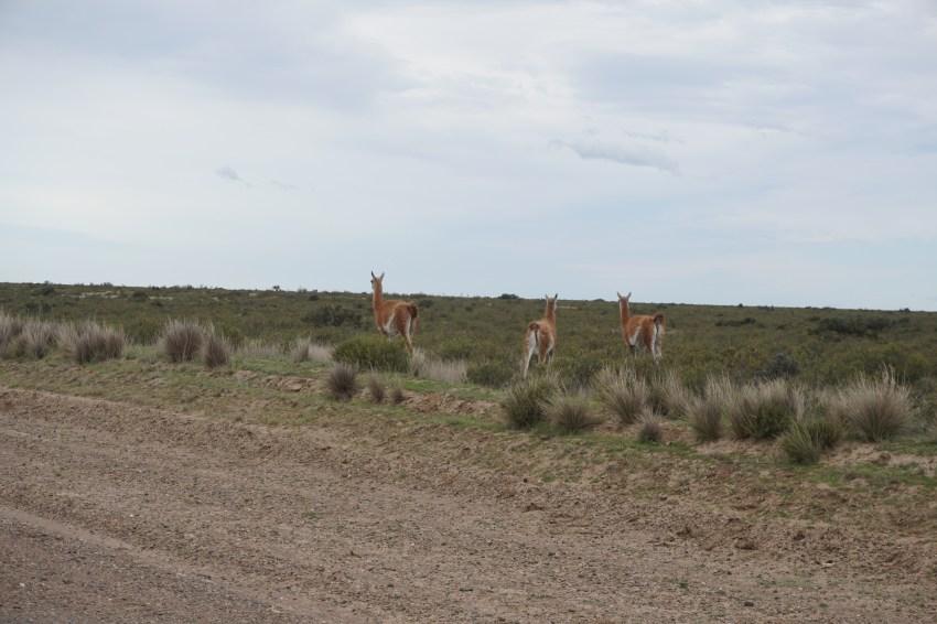 Des guanacos fuyant devant l'ennemi