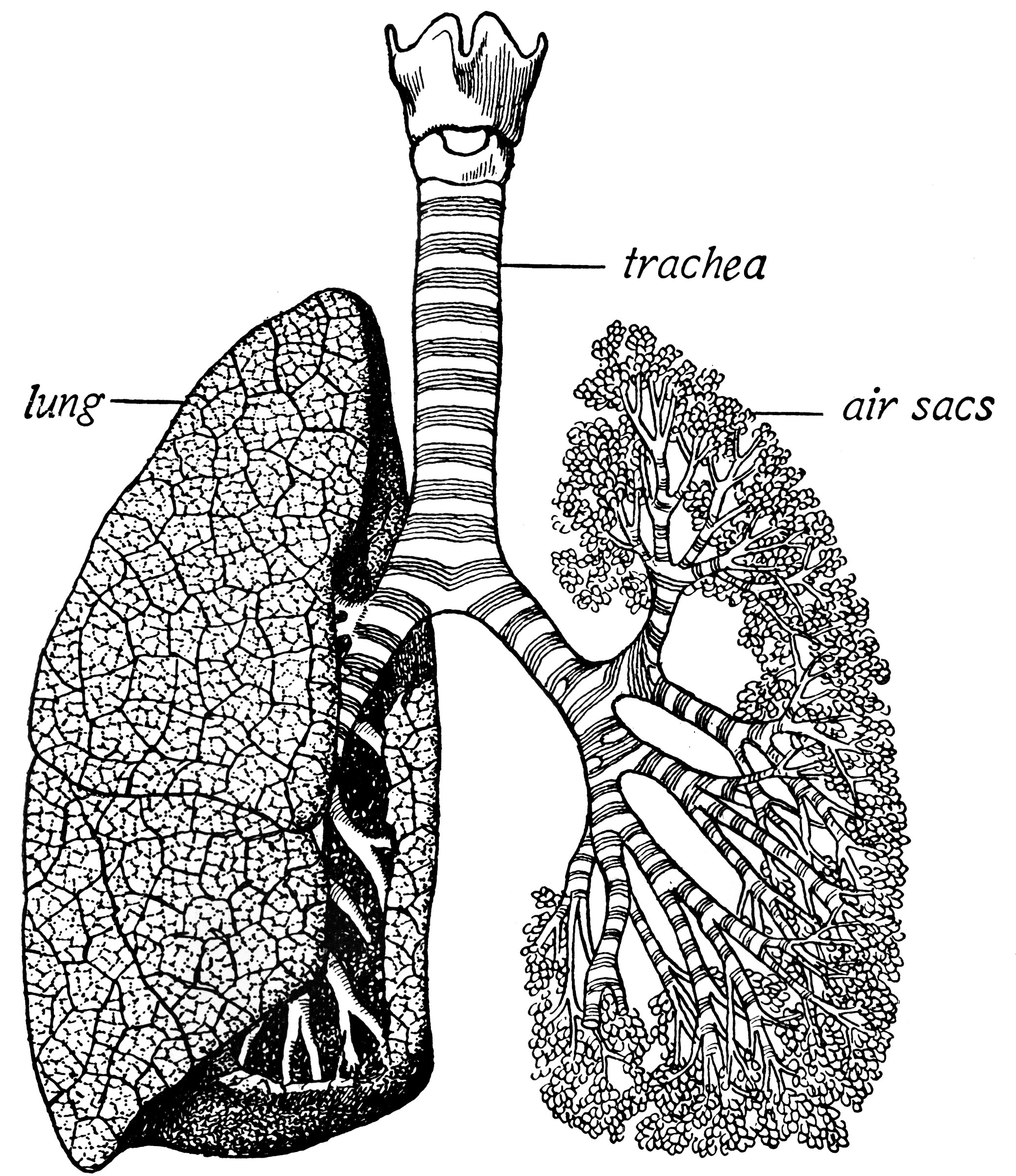 lung diagram drawing briggs and stratton 3 5 hp carburetor trachea lungs clipart etc
