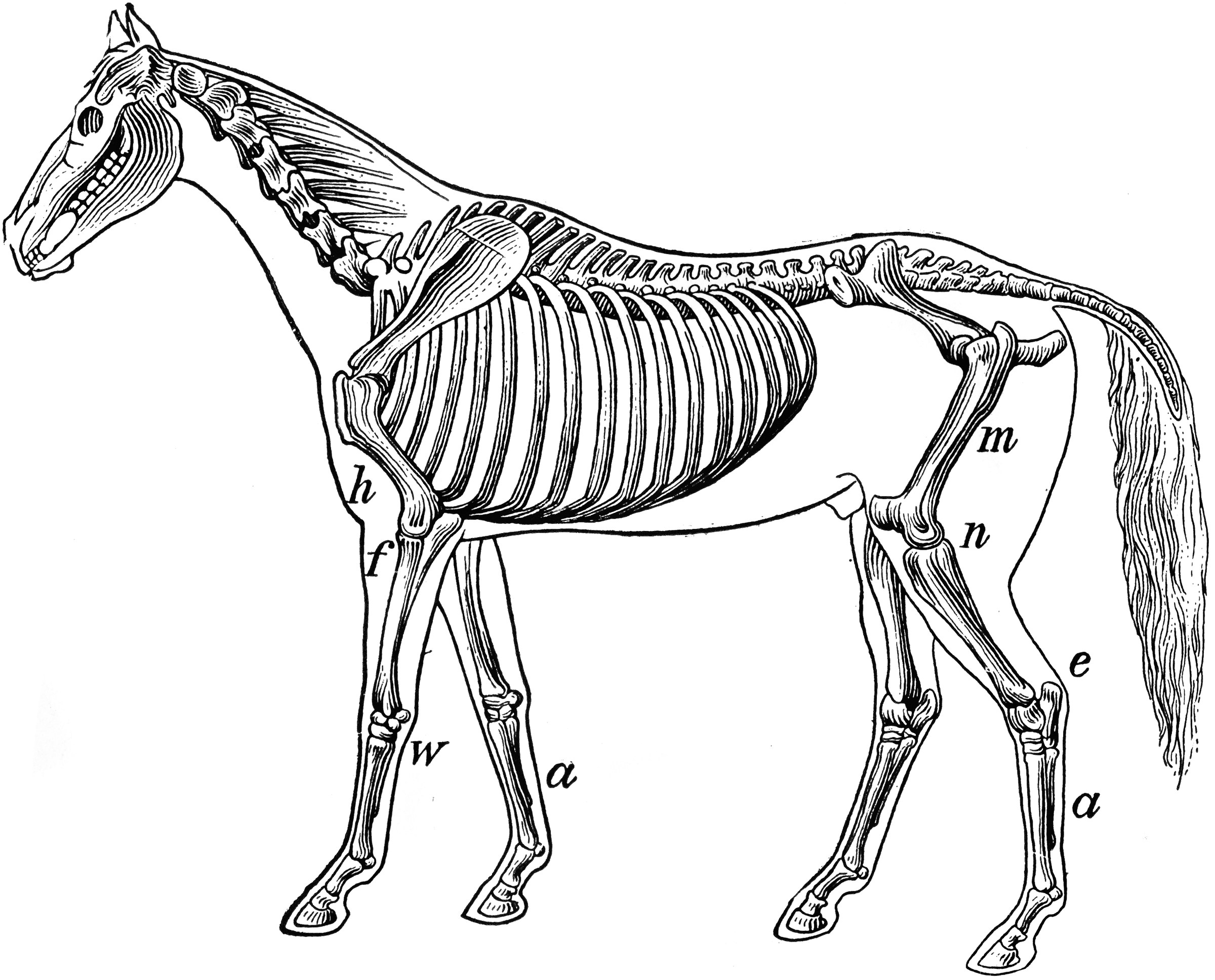 horse skull diagram lifestyle mid position valve wiring skeleton of a clipart etc