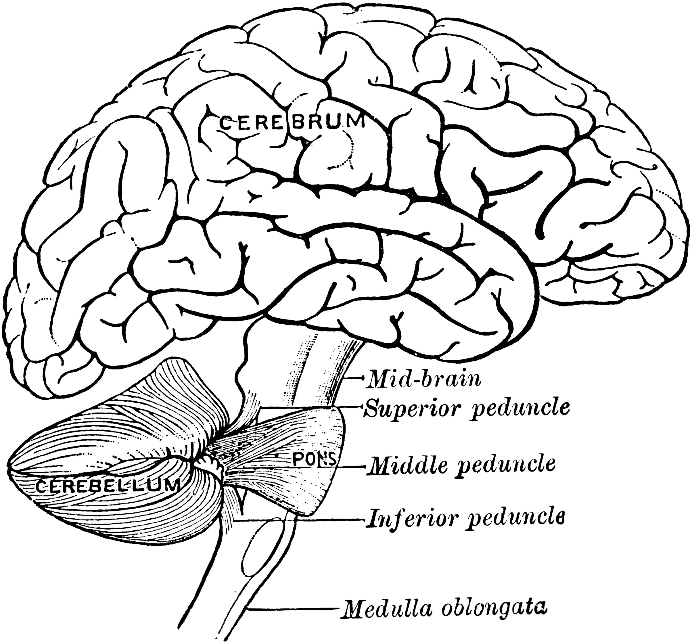Detailed Parts Of The Brain Worksheet Coloring Pages