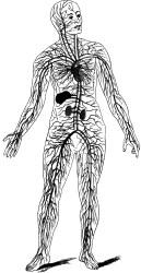 circulatory system clipart etc medium