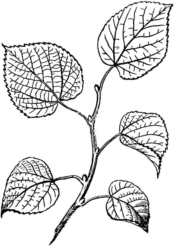alternate leaves clipart