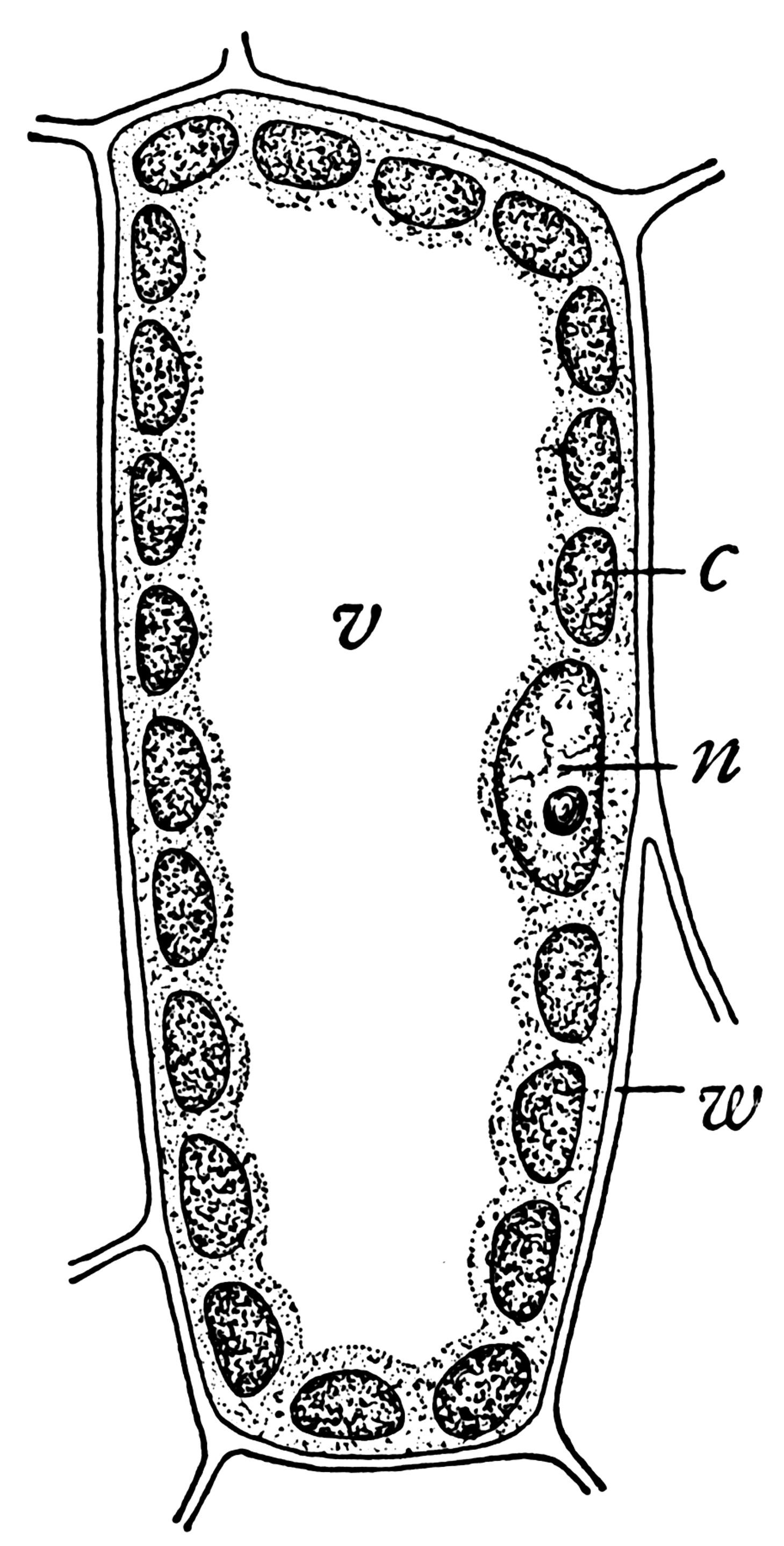 mesophyll cell diagram 1966 mustang ab werk plant clipart etc