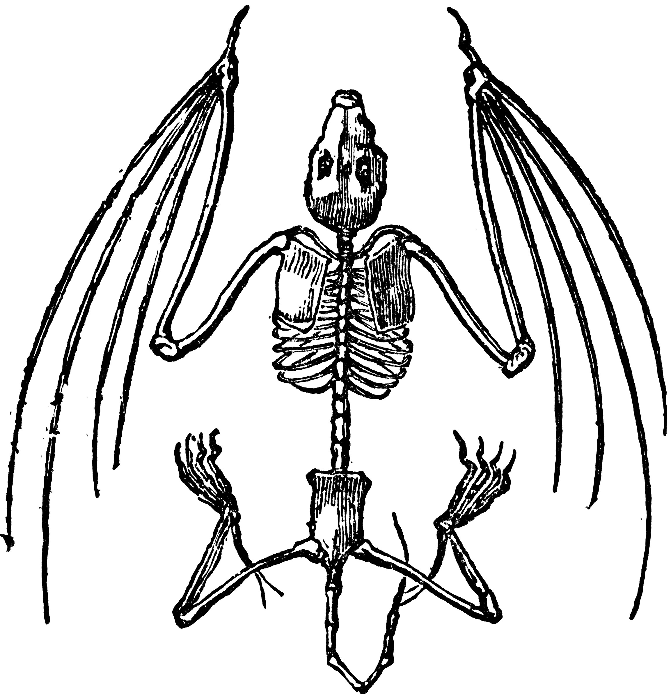 Bat Skeleton Clipart Etc
