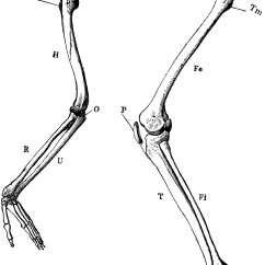 Tibia And Fibula Blank Diagram Wiring For A Switched Outlet Arm Leg Skeleton Clipart Etc