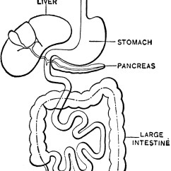 Large Intestine Diagram Blank Refrigerator Wiring Compressor Digestive System Clipart Etc