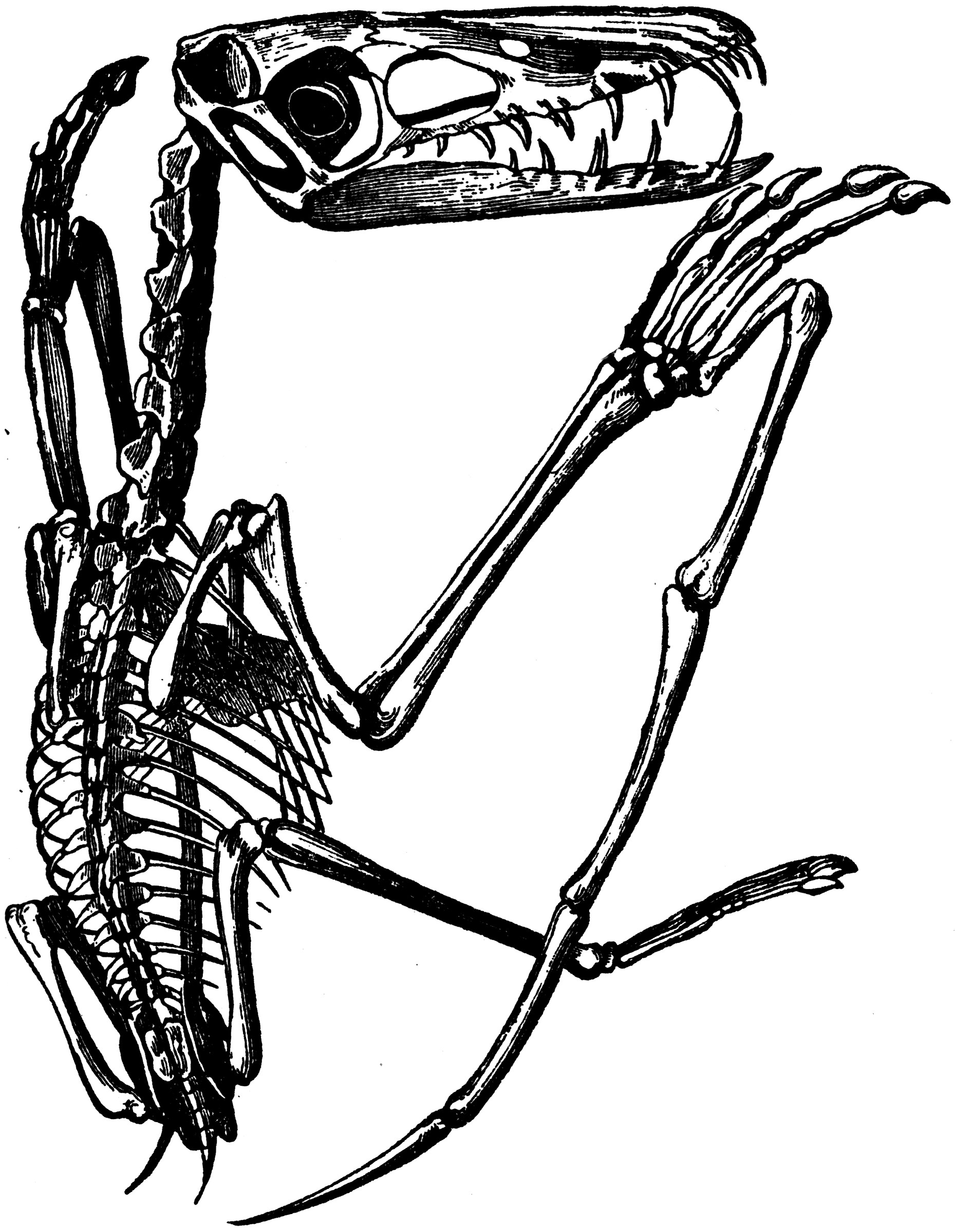 vole skeleton diagram electrical installation wiring diagrams and symbols pterodactyl clipart etc