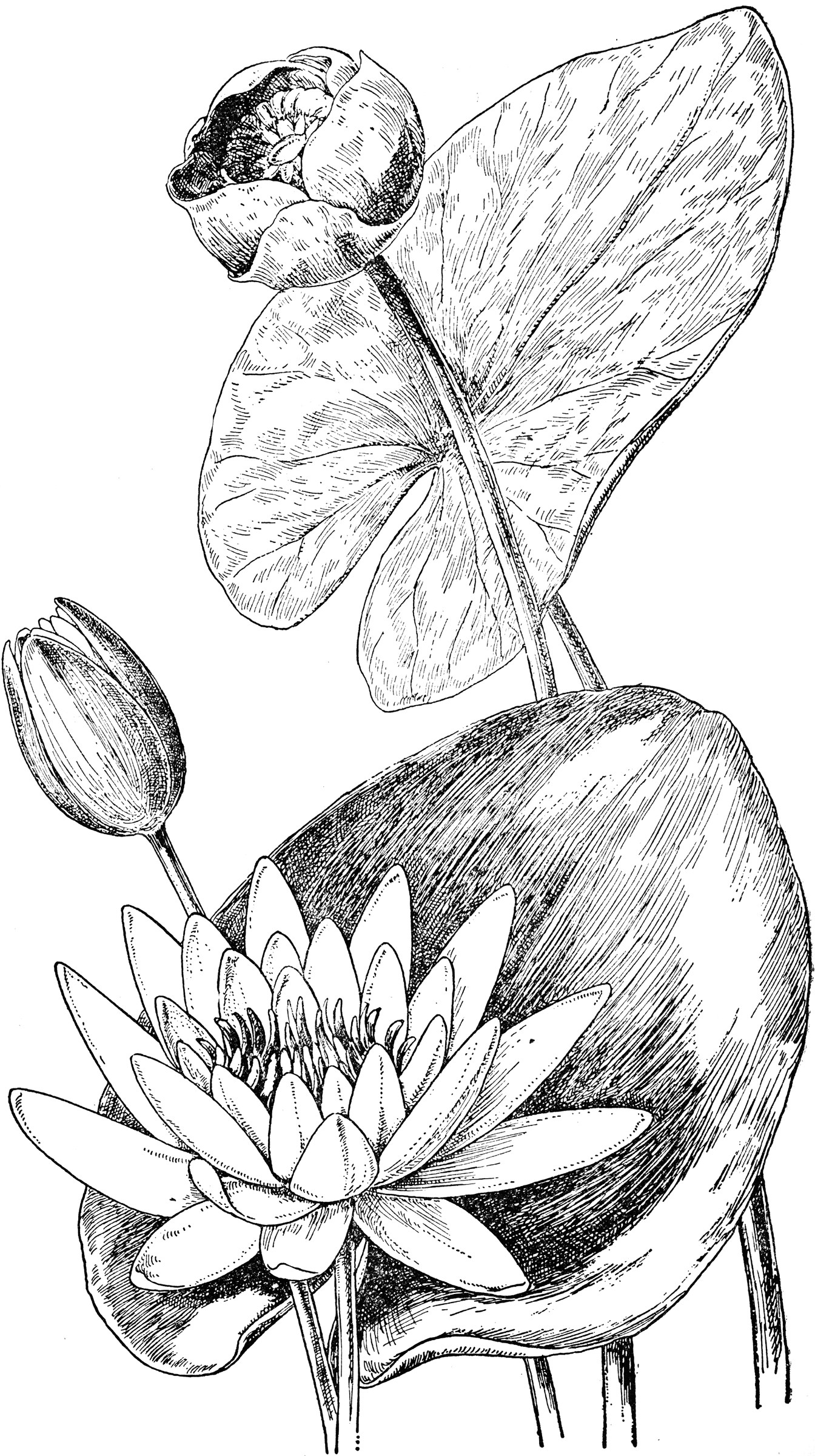 Water Lily And Yellow Pond Lily Clipart Etc