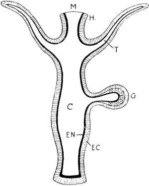 Hydrazoan Polyp | ClipArt ETC