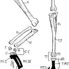 Pigeon Dissection Diagram Mk Garage Consumer Unit Wiring Bird Limbs Clipart Etc