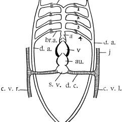 Large Heart Diagram Label Cat 5 6 Wiring Teleost Clipart Etc