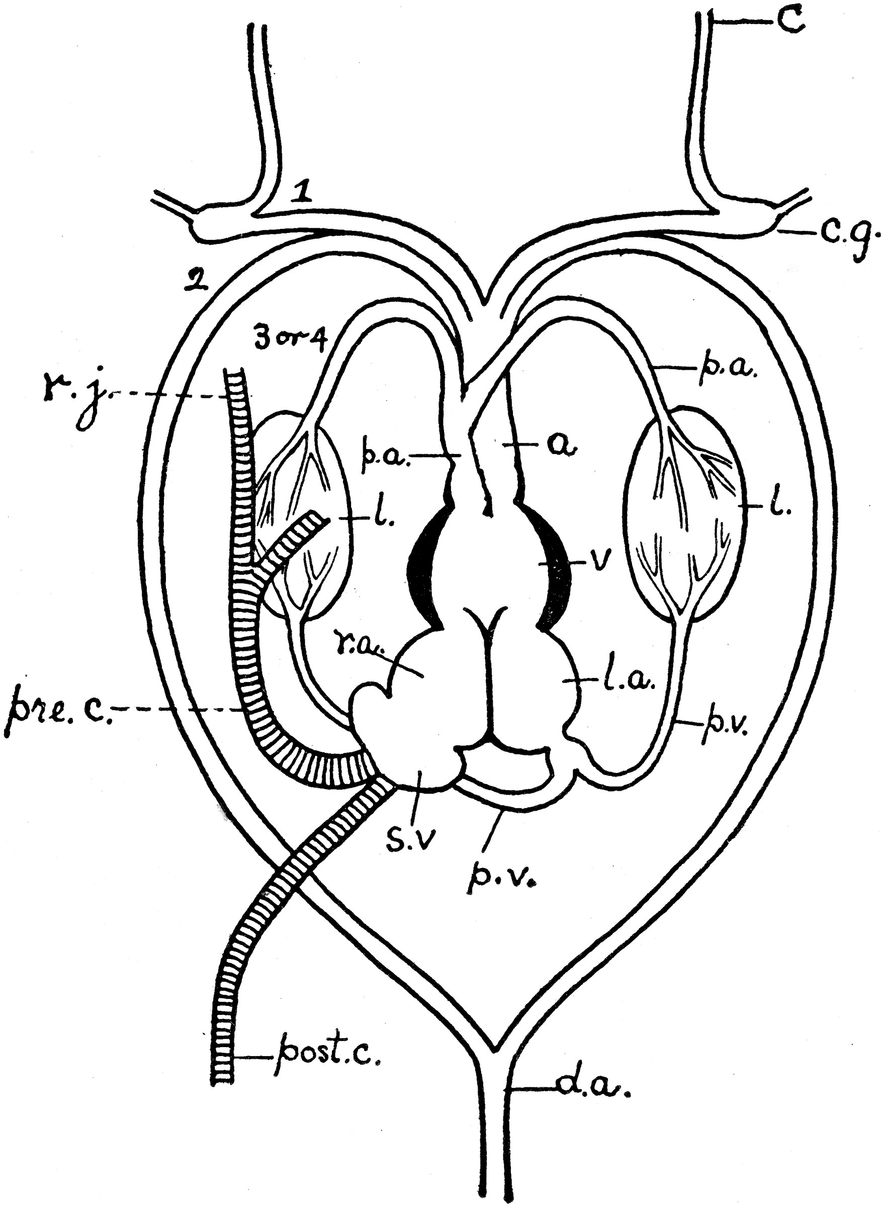 large heart diagram label difference between electrical schematic and wiring frog clipart etc