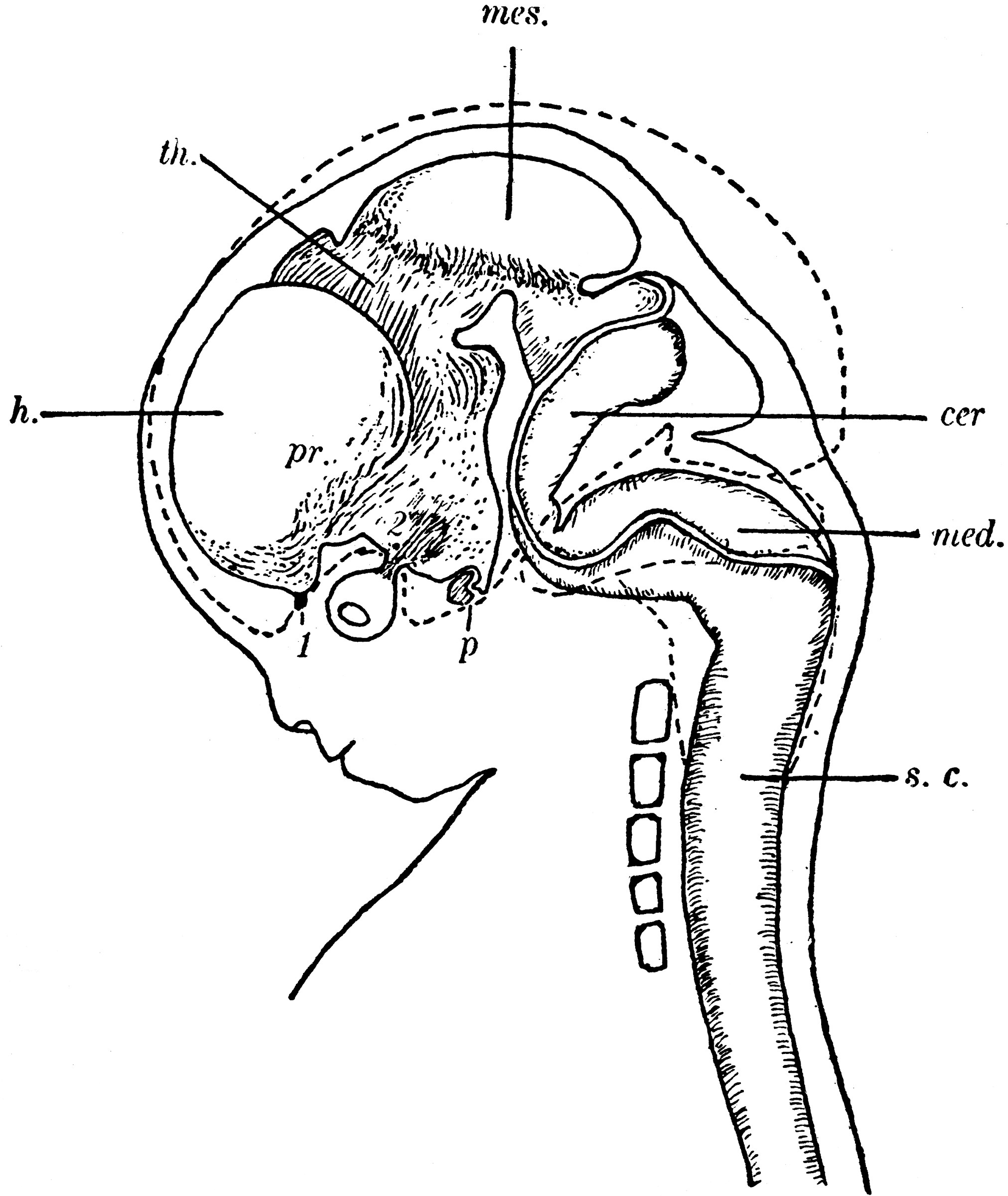 Labeled Spinal Cord Diagram Human Fetus Clipart Etc