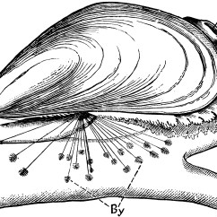 Clam Dissection Diagram Trailer Lights Wiring 5 Pin Blue Mussel Clipart Etc
