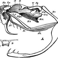 Snake Anatomy Diagram Meyer Plow Light Wiring Rattlesnake Skull Clipart Etc