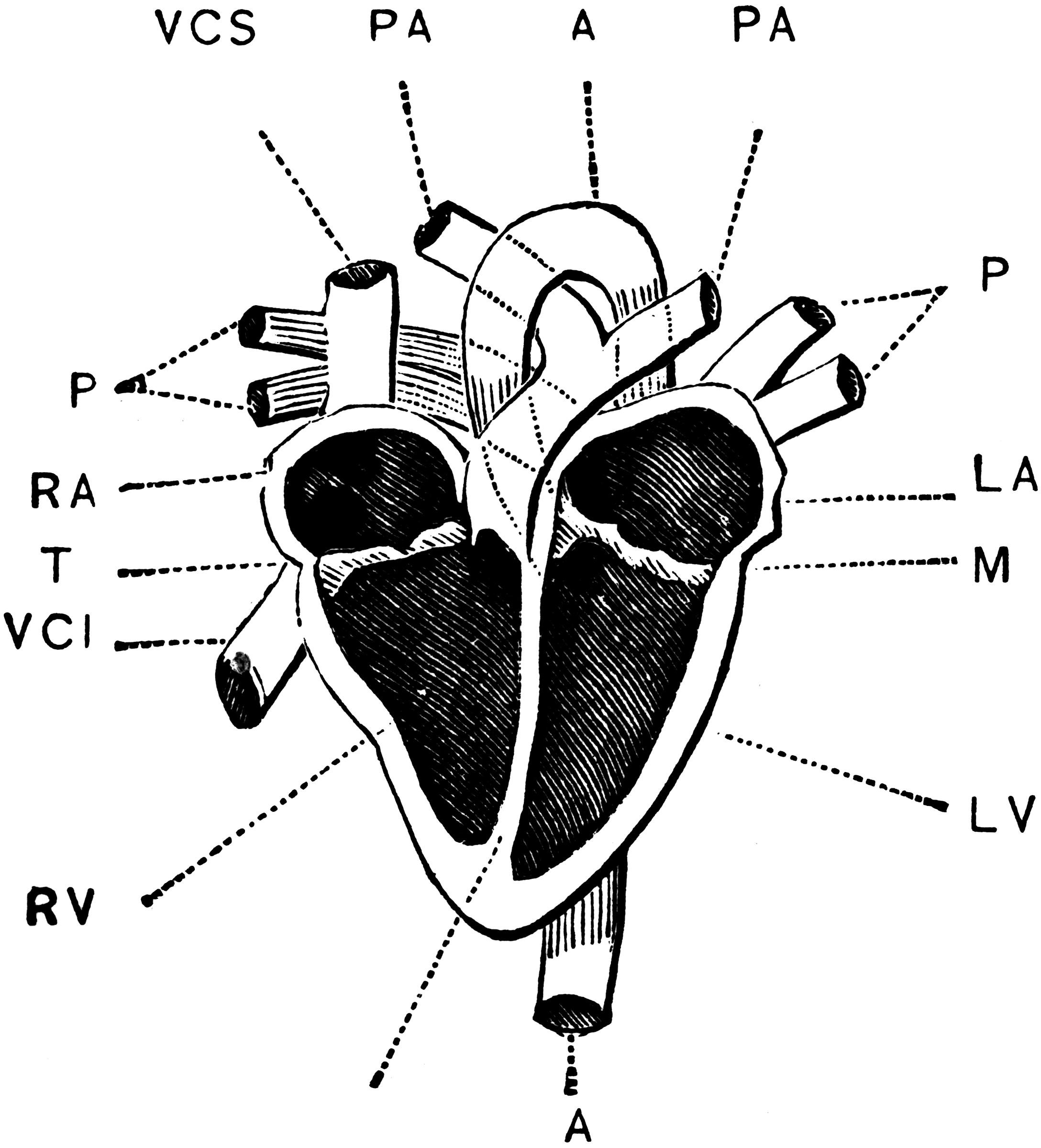 interior heart diagram lpg wiring of the clipart etc