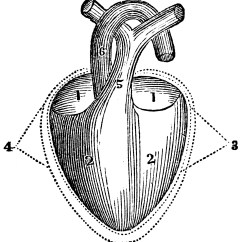 Large Heart Diagram Label 12v Trolling Motor Wiring A Of The Clipart Etc