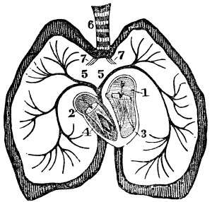 The Heart | ClipArt ETC