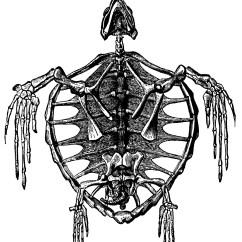 Turtle Anatomy Diagram Emergency Lighting Key Switch Wiring Skeleton Of A Clipart Etc