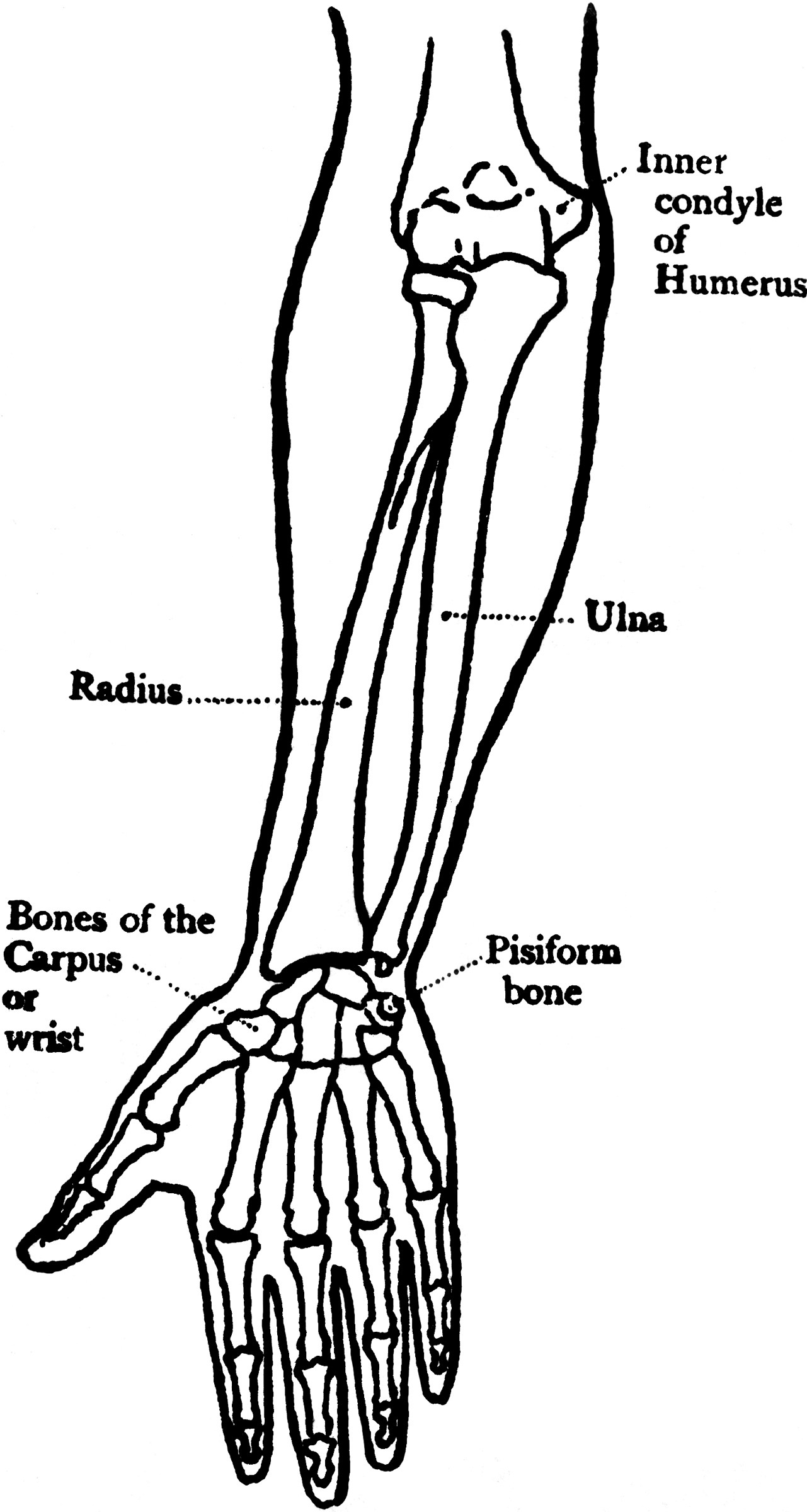 forearm bones diagram 1972 chevrolet truck wiring front view of the clipart etc