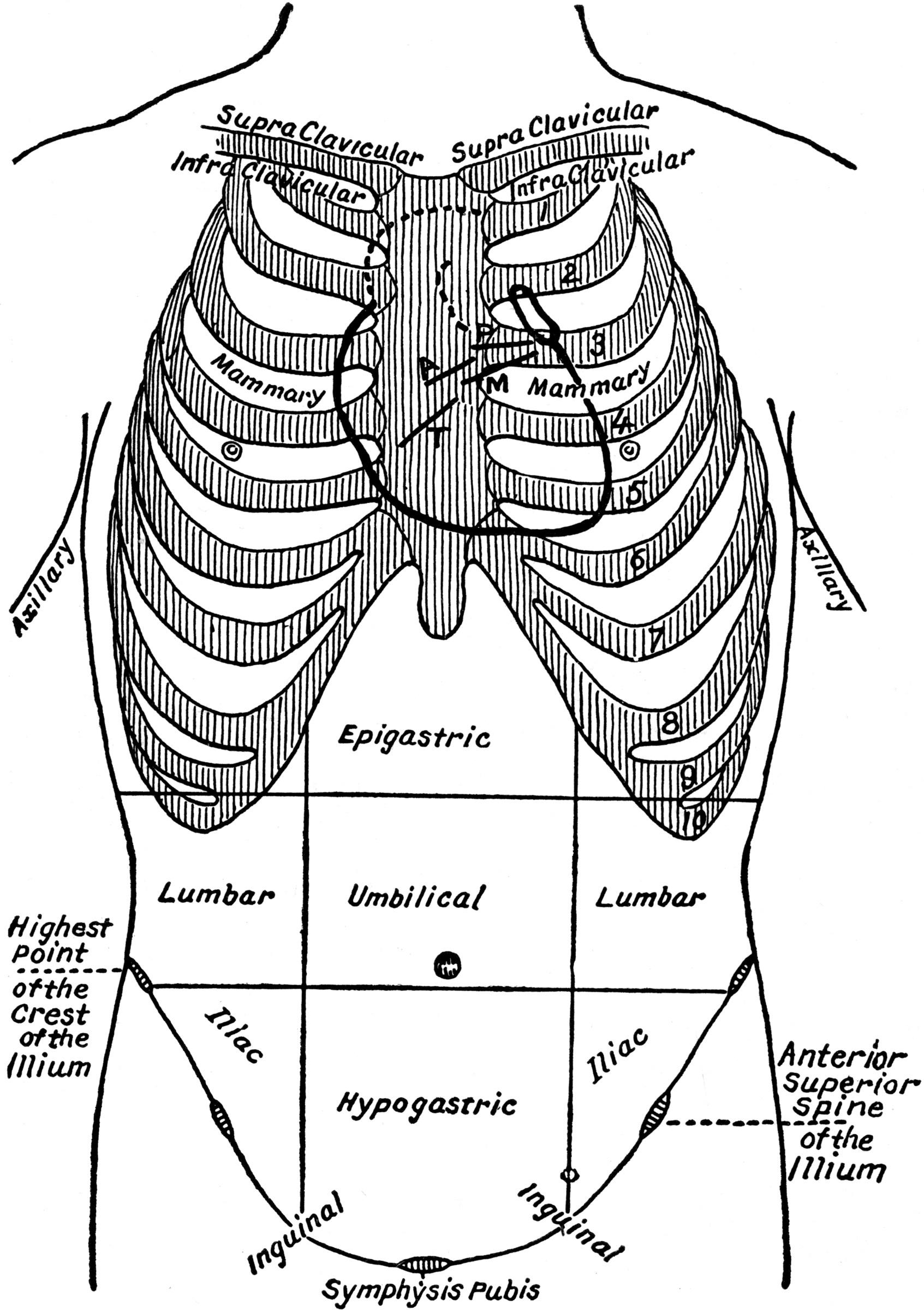 abdominal aorta diagram twist lock plug wiring thoracic and regions clipart etc