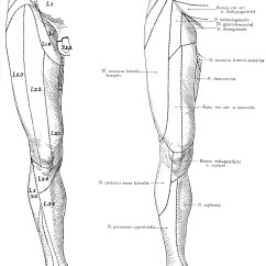 Lower Leg Nerve Diagram Ford F350 Wiring For Trailer Plug Cutaneous Nerves On The Front Of Legs Clipart Etc