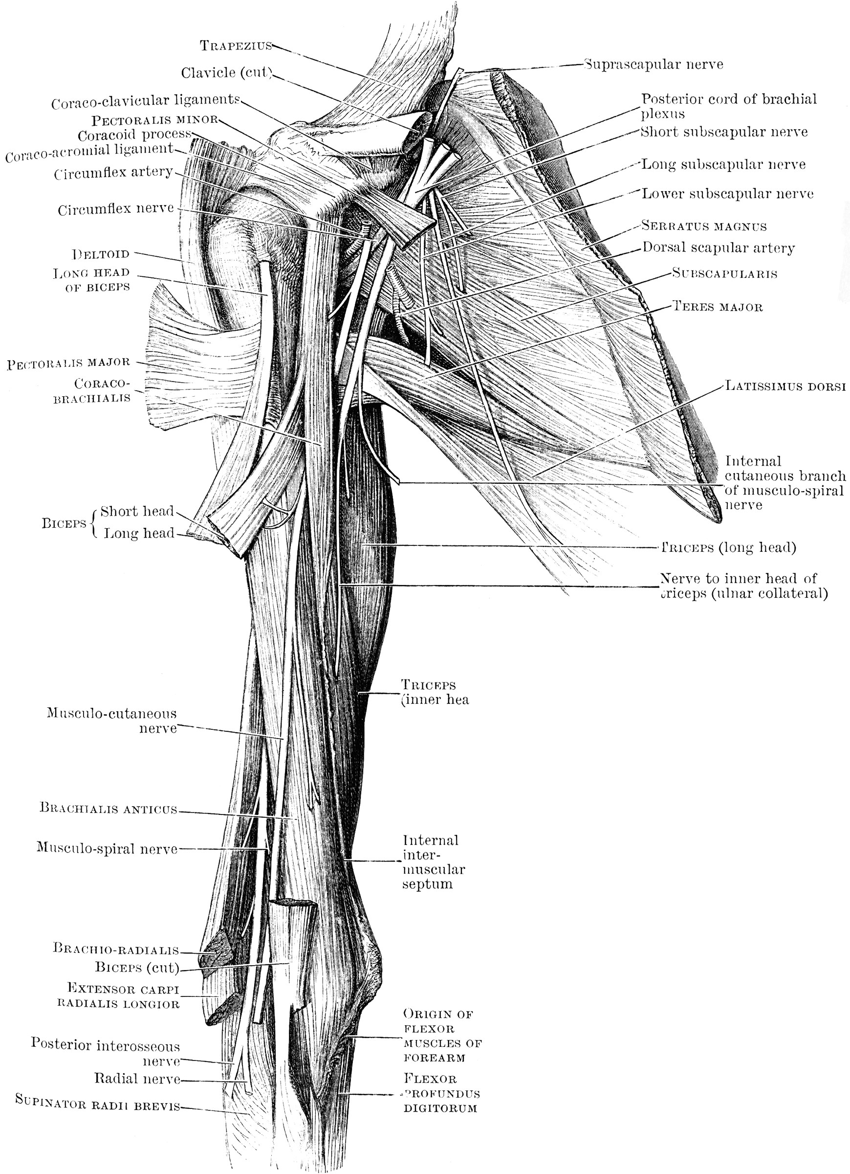Front View Of Shoulder Muscles Clipart Etc