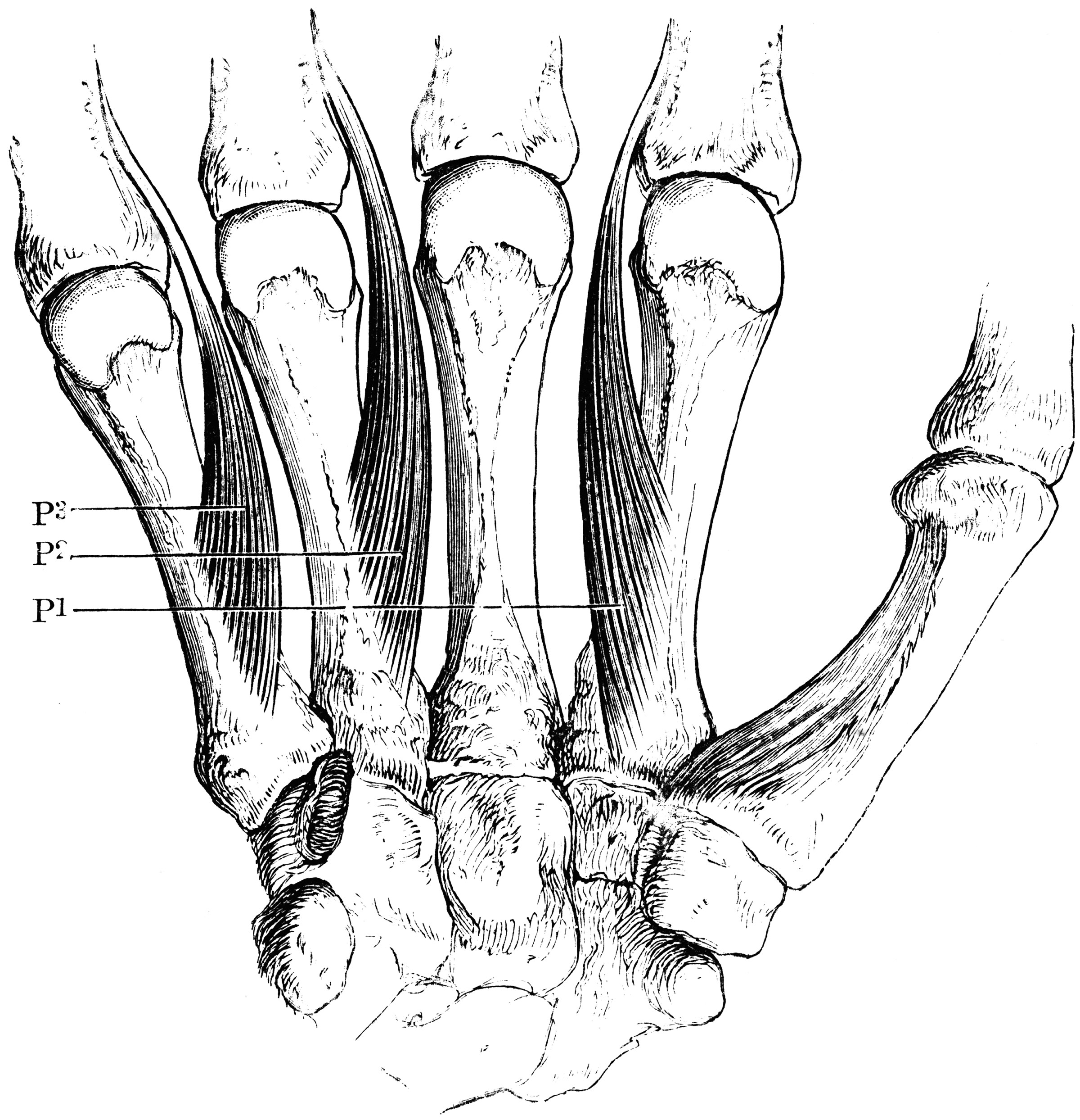 palmar hand muscle anatomy diagram pioneer deh p2500 wiring interosseous muscles of the clipart etc