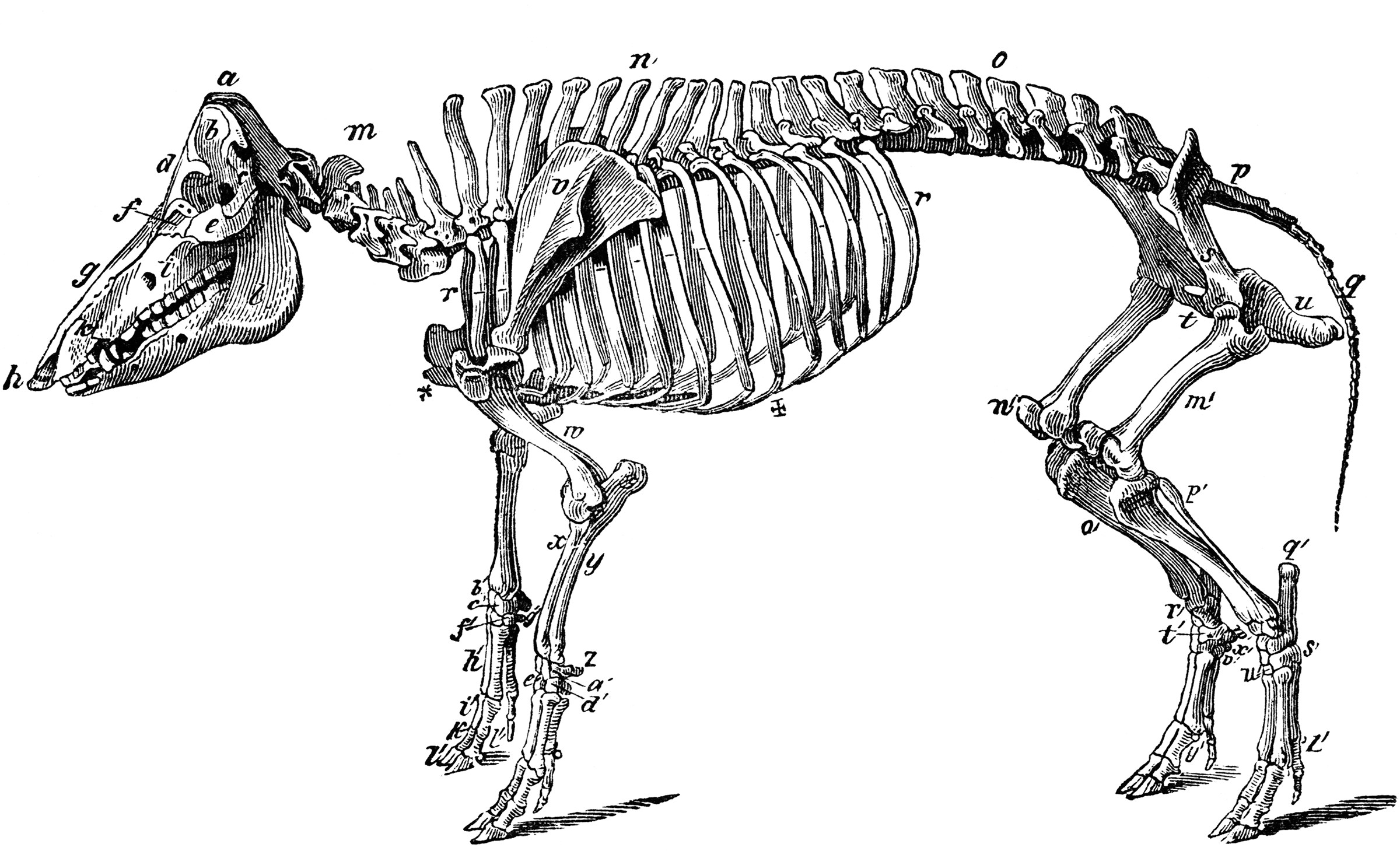 cow skeleton bones diagram volleyball set numbers of a hog clipart etc