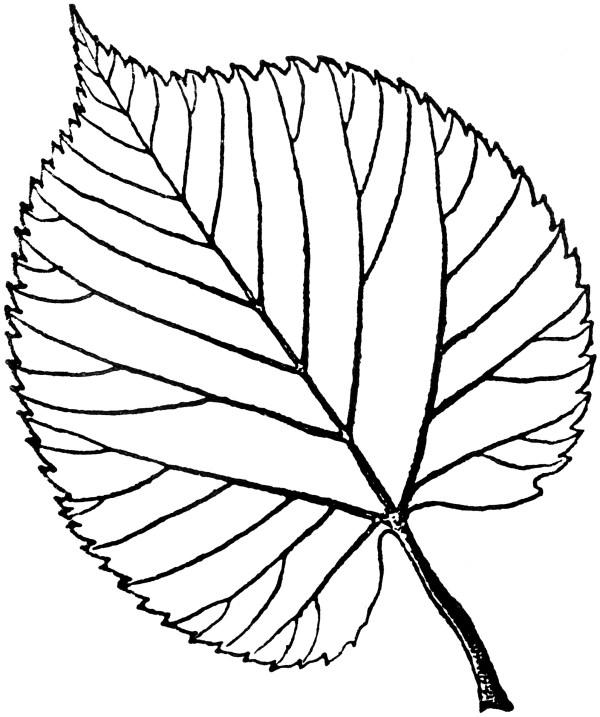 american linden leaf clipart