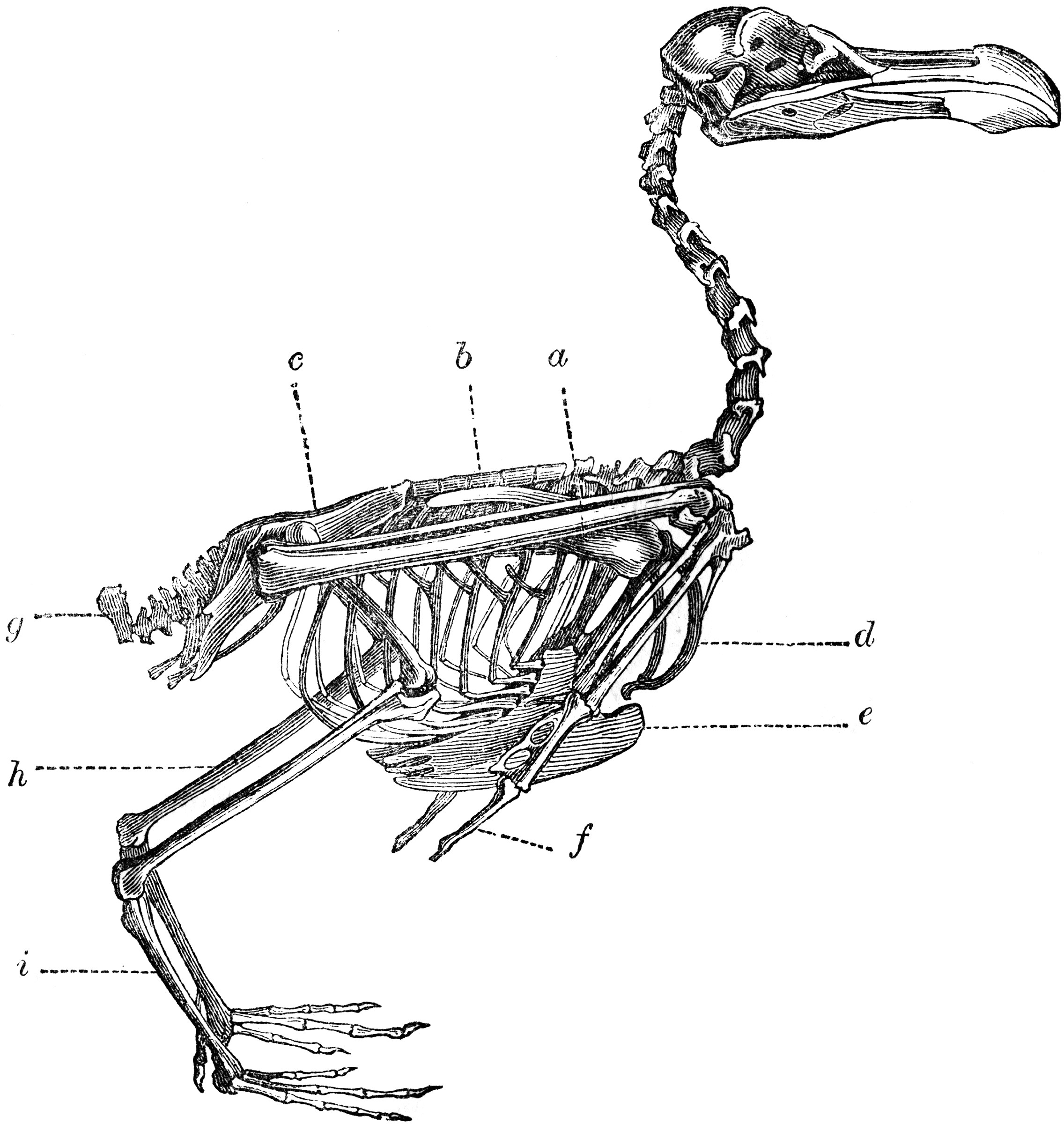 Diagram Of Bone With Labels Skeleton Of A Bird Clipart Etc