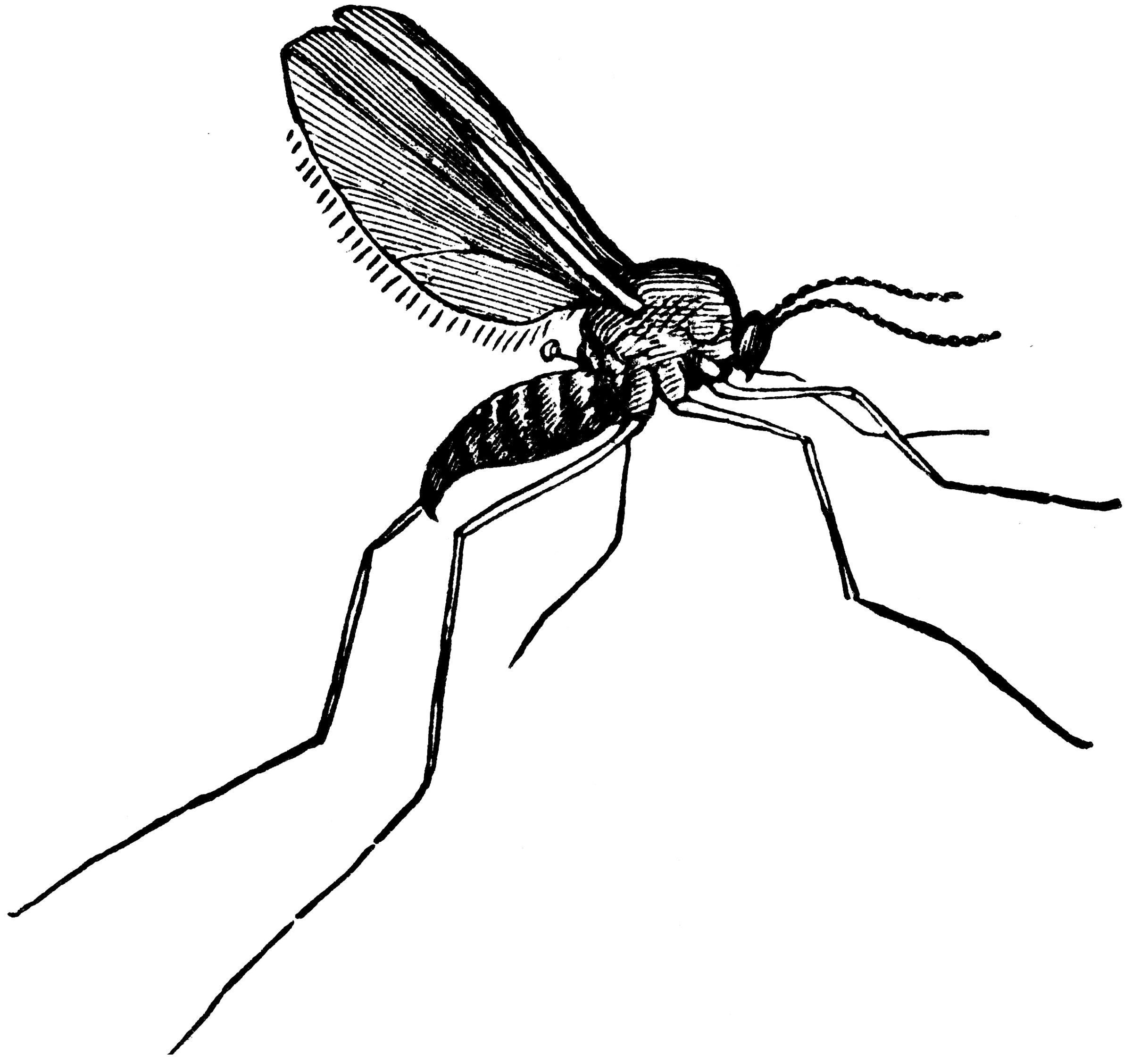 Gall Gnat Clipart Etc
