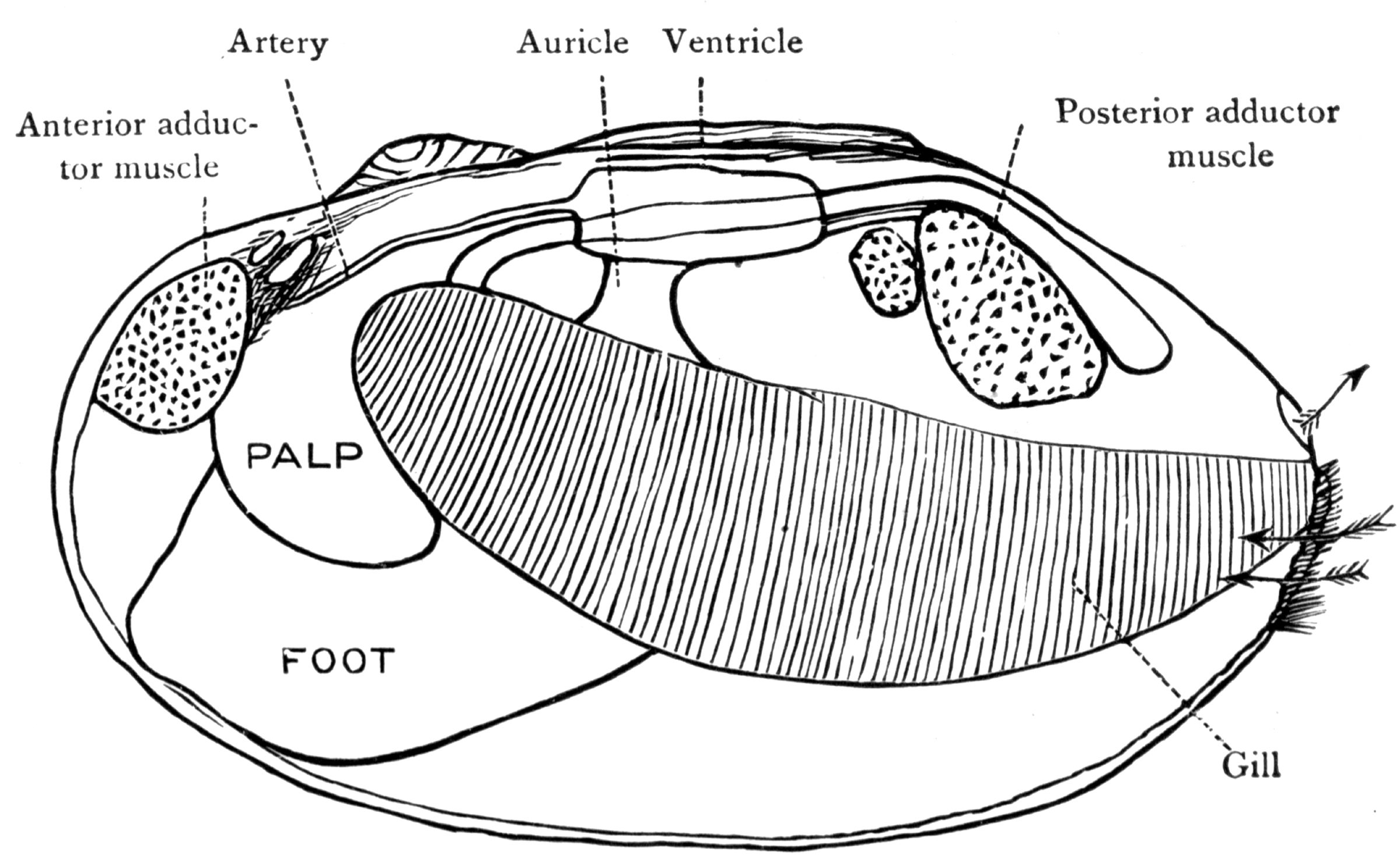 labeled diagram of clam