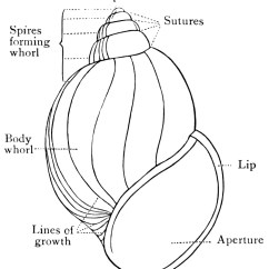 Mollusca Diagram Labeled 1998 Toyota Land Cruiser Stereo Wiring Snail Shell Clipart Etc