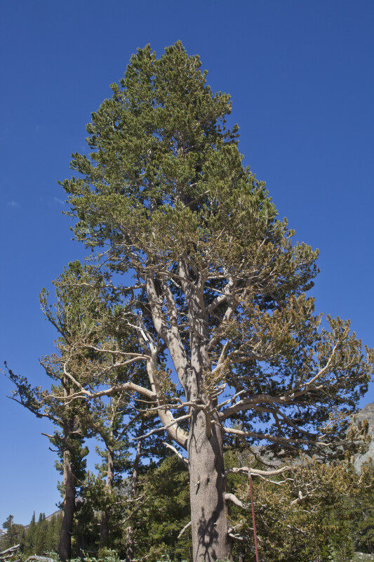 A Lodgepole Pine in Tuolumne Meadow  ClipPix ETC Educational Photos for Students and Teachers