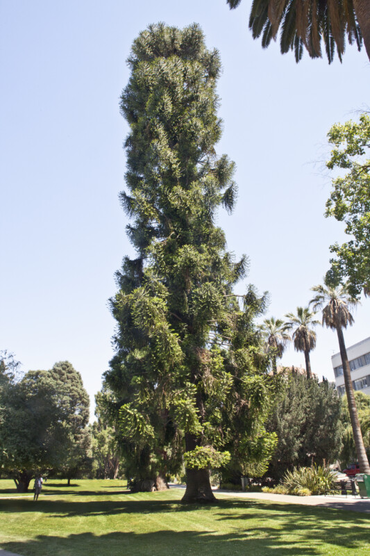 Full View Of A Bunya Pine Tree At Capitol Park In Sacramento ClipPix ETC Educational Photos