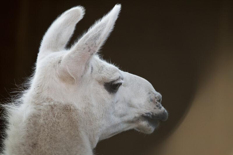 Llama Head ClipPix ETC Educational Photos For Students