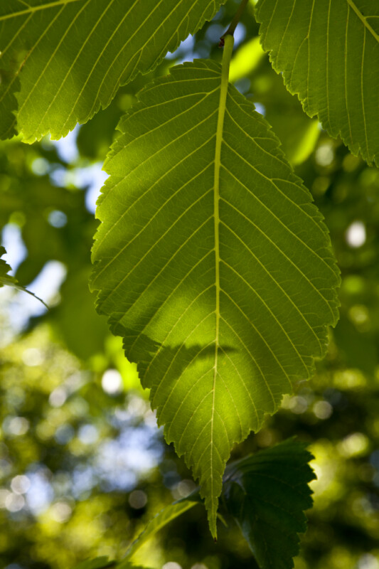 Princeton American Elm Leaf ClipPix ETC Educational Photos For Students And Teachers