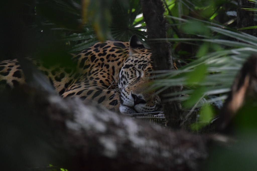 Looking for jaguars in Belize