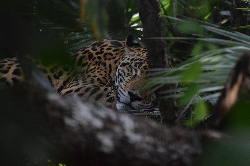Looking for jaguars in Belize