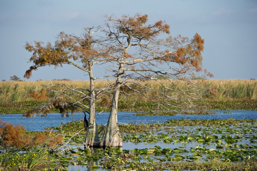 Lone tree with orange-yellow leaves standing in a marsh or swap area with plant life in the water and marsh in the back.