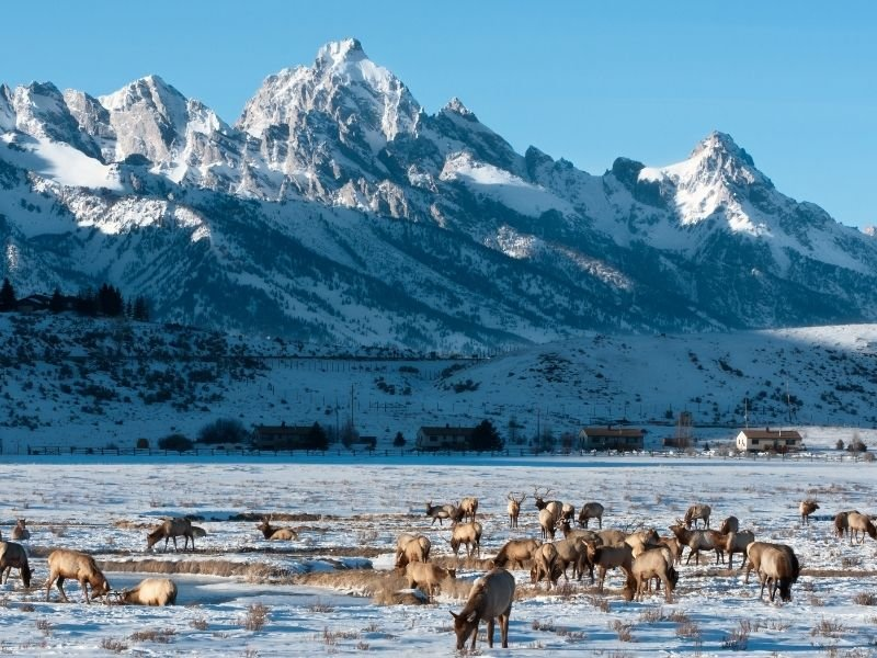 A huge herd of elk eating grass peaking out from the snow in the elk refuge near Grand Teton National Park
