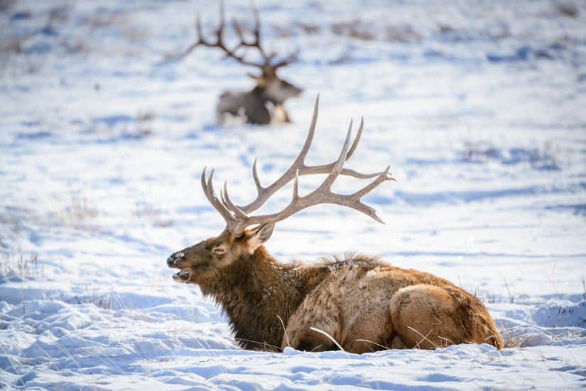 An elk with giant horns in focus with mouth open and a blurry background with one other elk behind.